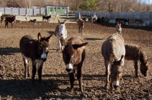 Ослиная ферма «Чудо ослик»