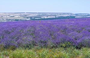 Лавандовые поля Крым